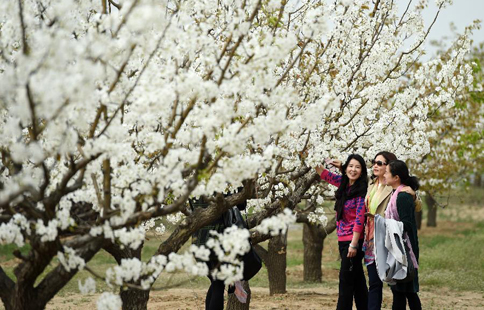 Pear blossoms attract tourists in Beijing