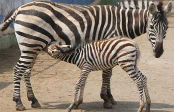 Newborn zebra debuts at zoo in east China