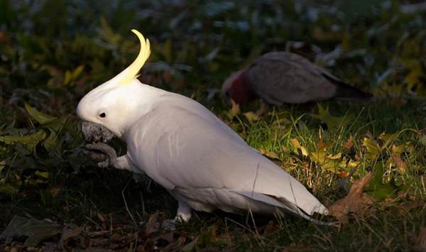 In pics: cockatoos in Canberra, Australia