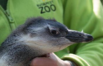 Four-month-old penguin Tifani at Budapest Zoo in Hungary