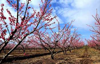 Peach flowers in full blossom in NW China's Gansu Province