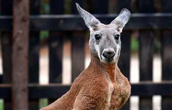 Red kangaroos from Australia meet public in Kunming