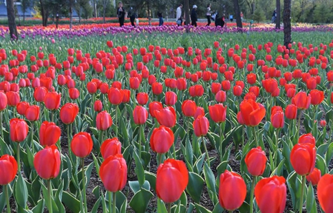 Visitors view tulip flowers in NW China's Gansu