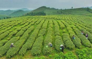 Farmers pick tea leaves in southwest China's Guizhou