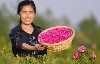Tourists pick edible roses in north China's Hebei