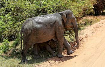 In pics: Elephant, calf reach out to nearby pond in Sri Lanka