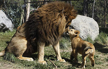 "Lion ""Maucho"" plays with cubs"