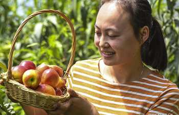 Tourists pick nectarines at greenhouse in Hebei