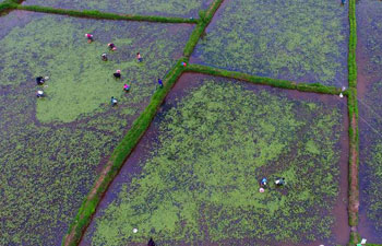 Villagers collect water shield leaves in central China's Hubei