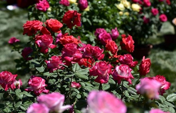 Over 100,000 Chinese roses displayed at expo in Tianjin