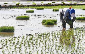 Farmers plant rice seedlings in NE China's Jilin