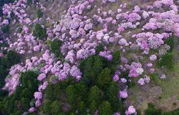 Azalea flowers seen in central China's Shennongjia reserve