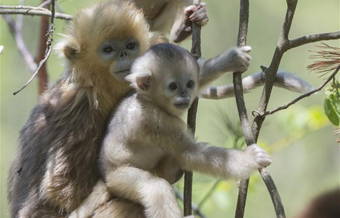 Golden monkeys play at research center in central China's Shennongjia