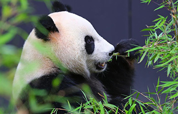 Feature: Two giant pandas make enchanting debut at Dutch zoo
