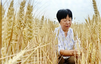 Wheat enters harvest season in N China's Hebei