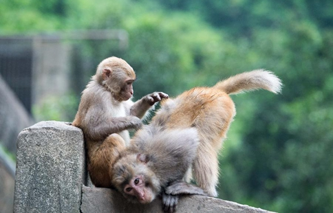 Macaques attract tourists at scenic spot in SW China's Chongqing