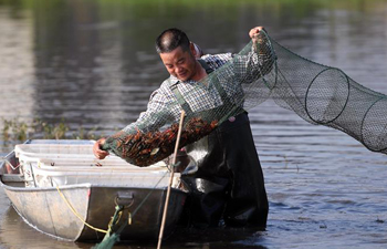 Farmers collect crayfish, rice seedlings in China