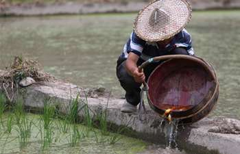 Farmers transplant rice seedlings in Zhejiang