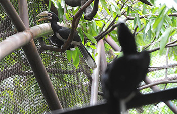 Two newborn oriental pied hornbills debut in Bangkok's zoo
