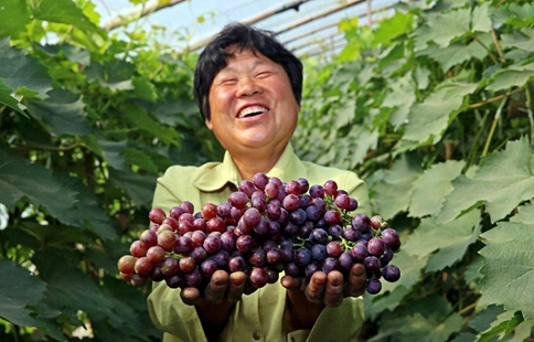 Grapes harvest in north China's villge