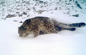 Snow leopards seen in SW China's Sichuan