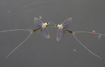 Long-tailed mayflies seen in Tiszakurt, Hungary