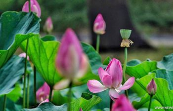 Lotus flowers bloom at Yuanmingyuan in Beijing