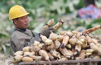 Farmers harvest lotus roots in central China