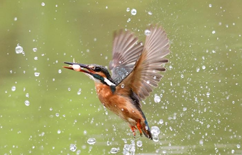 Kingfisher catches fish in SE China's Fuzhou