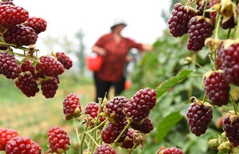 Raspberries, blueberries harvested in east China's Shandong