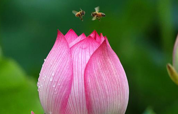 Bees fly among lotus flowers at Cuiping lake in north China's Tianjin