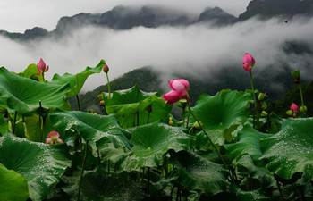 Lotus flowers blossom at village in China's Guangxi