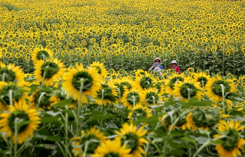 Sunflowers enter blooming season at Olympic Forest Park in Beijing