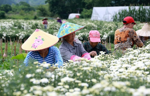 Chrysanthemum harvest season comes in E China's village