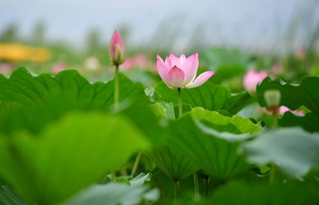 In pics: Sea of lotuses in central China's Henan