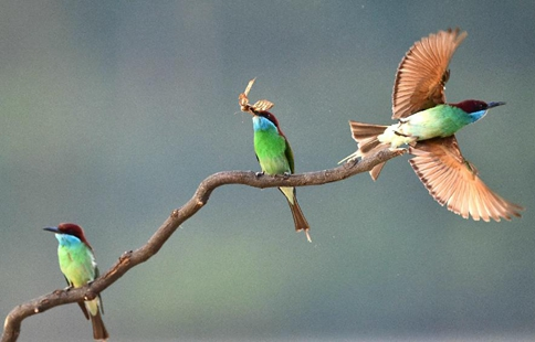 Blue-throated bee-eaters seen as summer visitor in SE China's Fujian