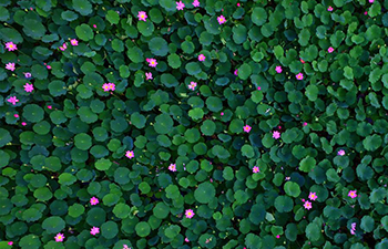 Lotus flowers blossom in north China's Hebei