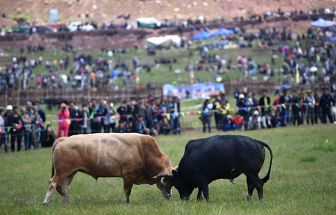 People enjoy bull fights during Torch Festival in SW China