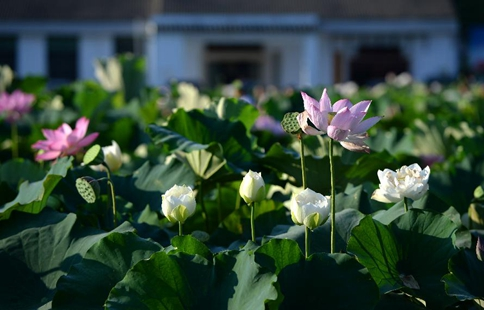 Tourists view blooming lotus flowers in east China