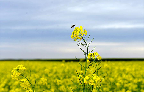 In pics: rapeseed flower field in N China's Inner Mongolia
