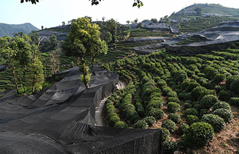 Protection measures taken for tea leaves under heat wave in Zhejiang