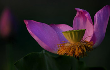 Blossoming lotus flowers in China's Anhui