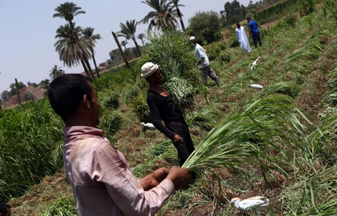 Feature: medicinal herb farming flourishes amid Egypt's ailing economy