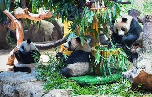 Triplet giant pandas celebrate 3rd birthday in S China's Guangzhou