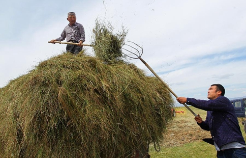 Herdsmen busy with cropping grass throughout Barkol grassland in Xinjiang