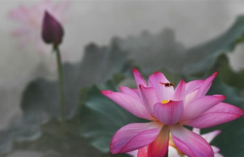 In pics: lotus flowers amid morning mist in E China