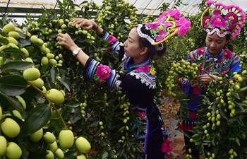 2017 Yongren jujube cultural tourism festival held in SW China