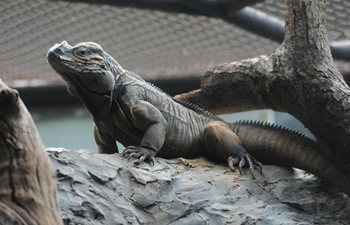 2 male rhinoceros iguanas exhibited in Bangkok's Dusit Zoo