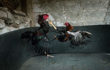 In pics: cock fighting in Jakarta, Indonesia