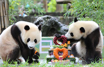 Giant panda twins celebrate 2nd birthday in SW China's Sichuan